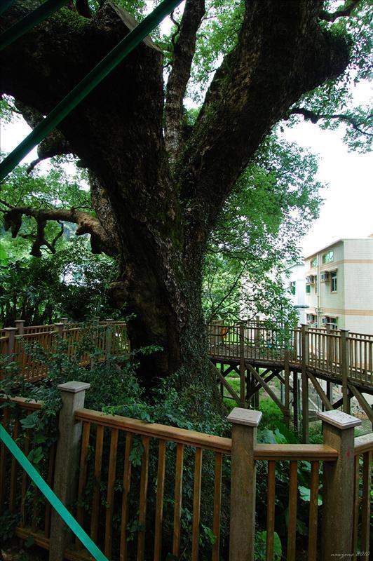 社山神木大樟樹