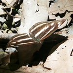 琉球三律蝶