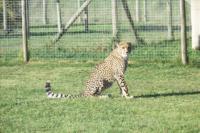 7 months Cheetah cub / bébé guépard de 7 mois