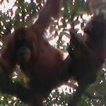 6. Sumatra - Orang-utan.JPG