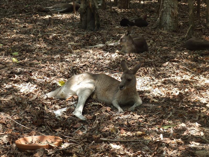 A few roos taking a break, Australia Zoo