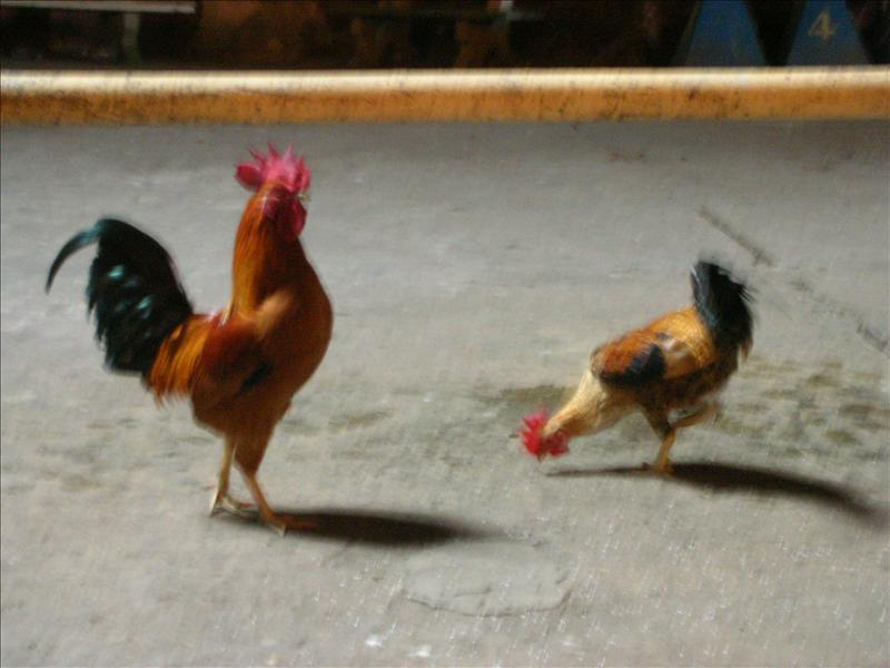 黑風洞Batu Caves裡的雞