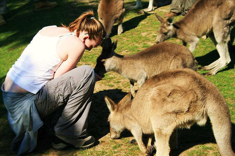 Feeding the Roo's on Phillip Island