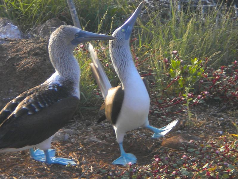 Blue footed Boobies - awesome birds...