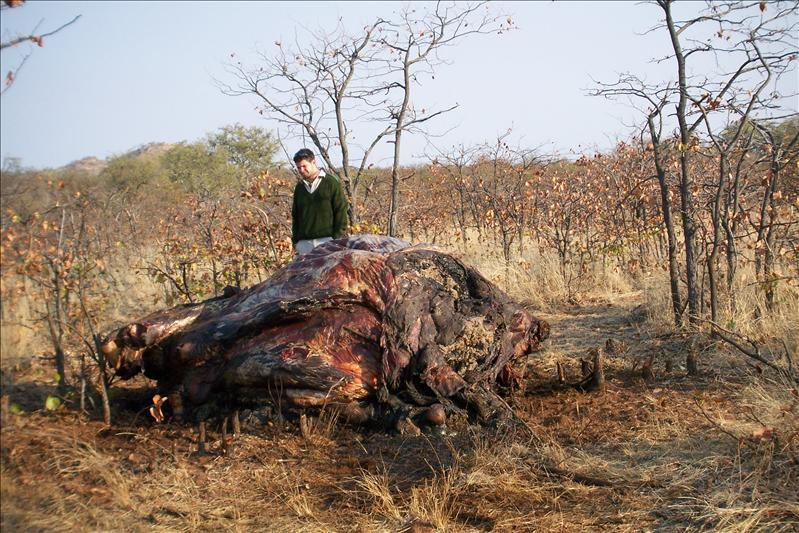 Elephant killed by poachers / Elephant tué par des braconniers