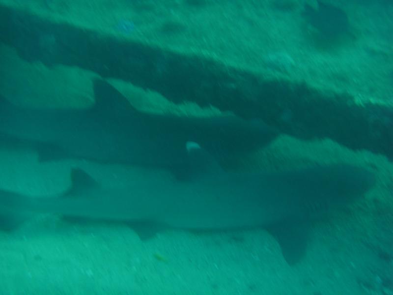 White Tip Sharks, Navy Pier, Ningaloo Reef