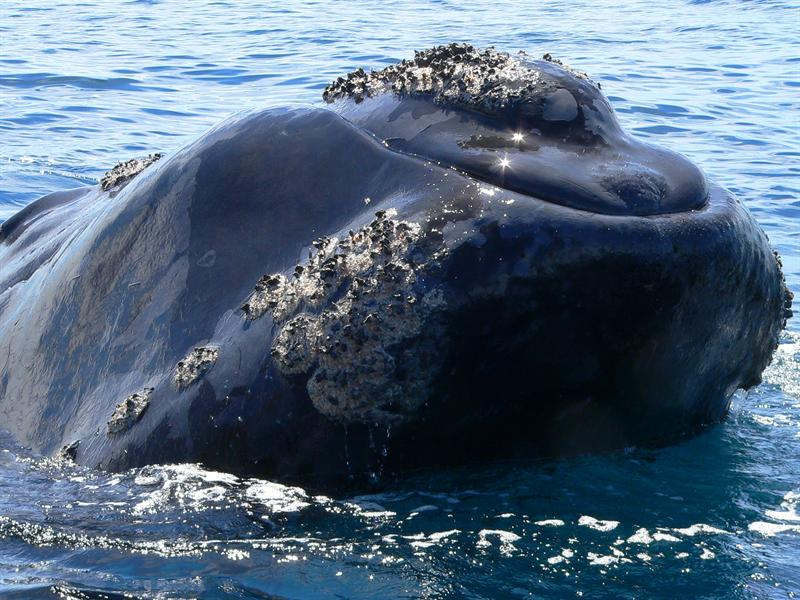 Baleina Franca Austral