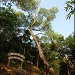 經過黃石樹木研習徑 Wong Shek Tree Walk