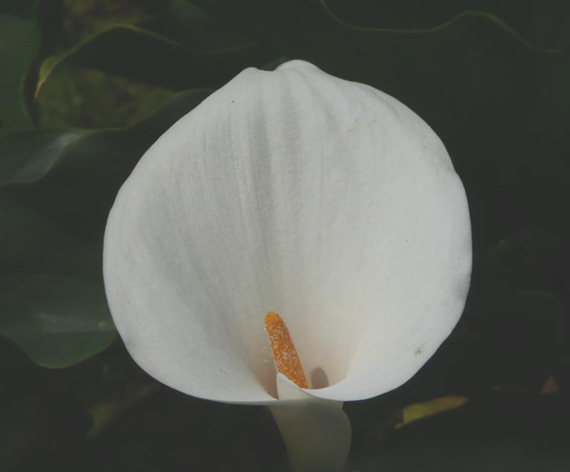 海芋田 (2).JPG