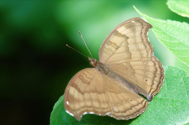 鈎翅眼蛺蝶 Junonia iphita (Chocolate Pansy)