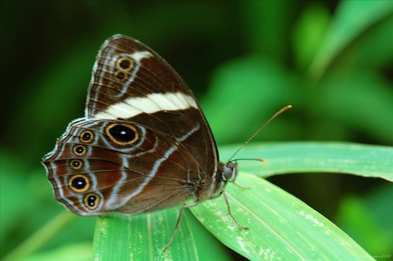 白帶黛眼蝶 Lethe confusa (Banded Tree Brown)
