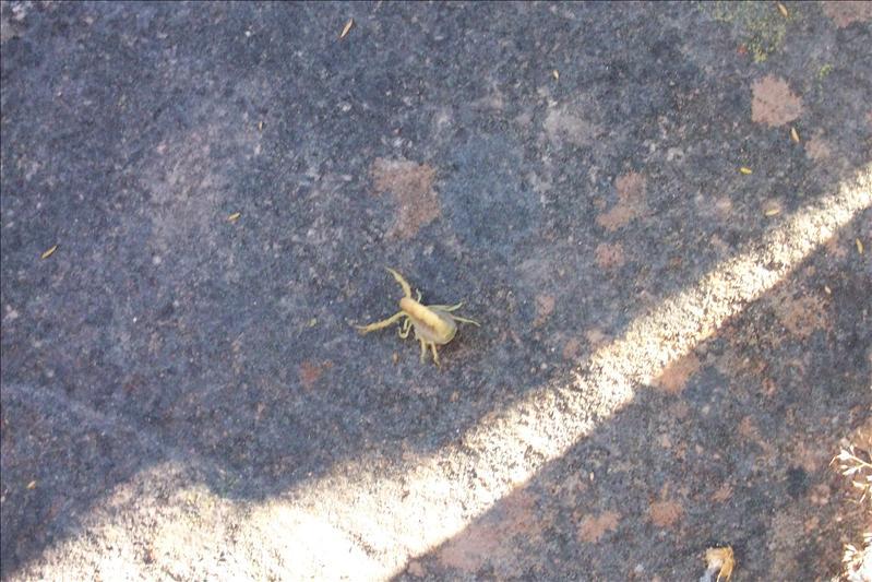 Yellow scorpion, the most dangerous / Scorpion jaune, le plus dangereux (mortel)