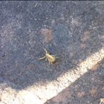 Yellow scorpion, the most dangerous / Scorpion jaune, le plus dangereux (mortel)