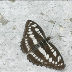 DSCN5351 中環蛺蝶 Neptis hylas.jpg