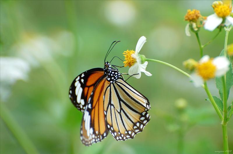 虎斑蝶 Danaus genutia