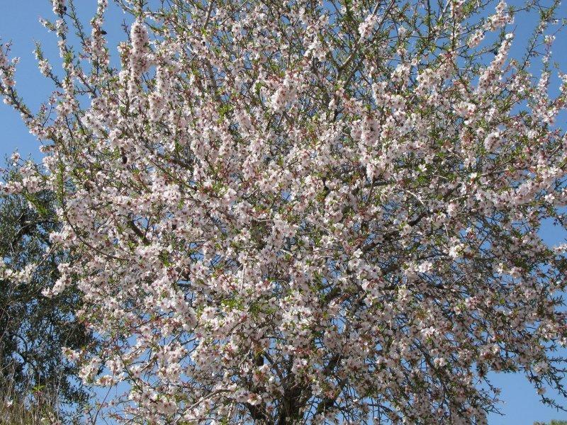 ... almond blossom ...