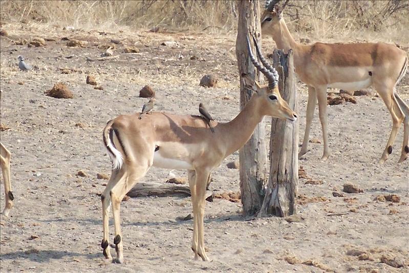 Impala and perched birds / Impala et ses oiseaux