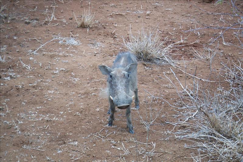 Warthog / Phacochère