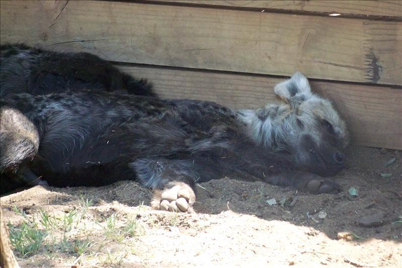 hyena cubs / bébé hyène
