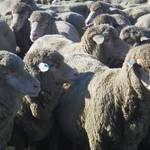 Schafsarbeit15.JPG
