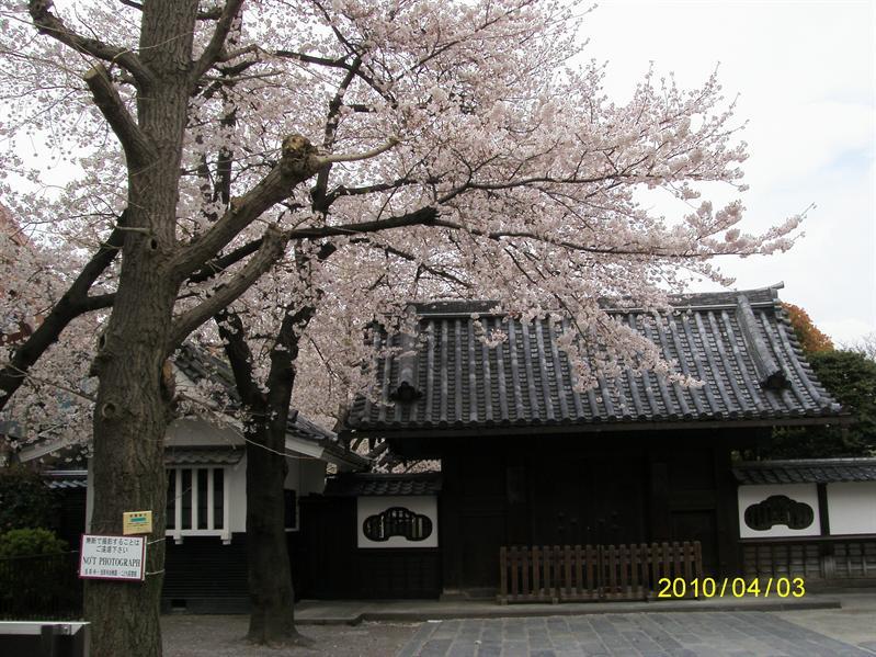 仲見世通上盛開的櫻花