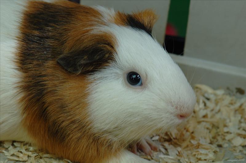 天竺鼠 Guinea Pig