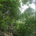 棲蘭森林步道 (20).JPG