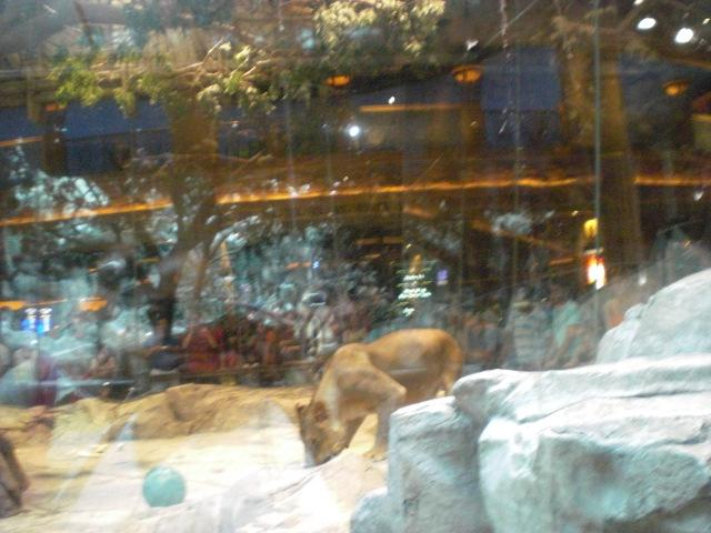 Lion Habitat @ MGM Grand