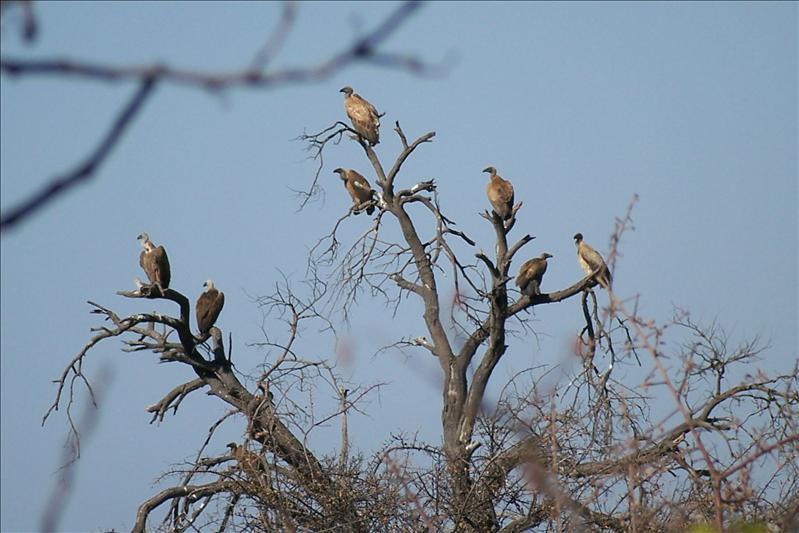 Vultures / Vautours