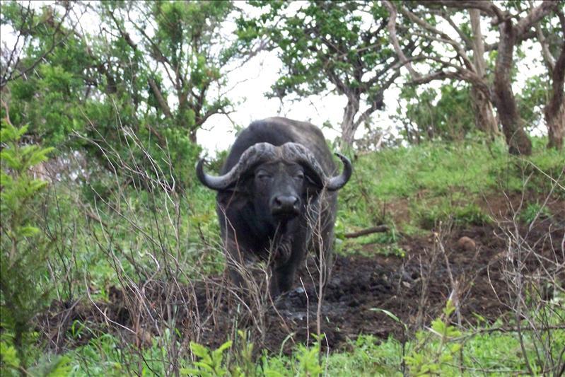 Buffalo / Buffle