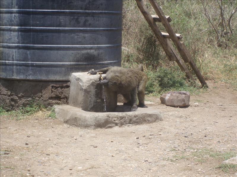 Baboon, Serengeti