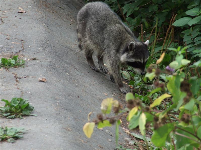 Yes we have seen nature, just not a racoon standing on his hind legs eating food with his hands.