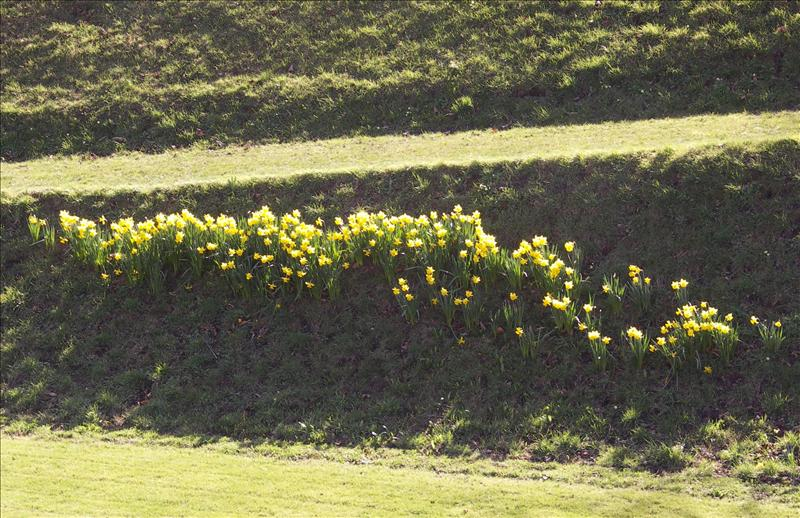 More daffs