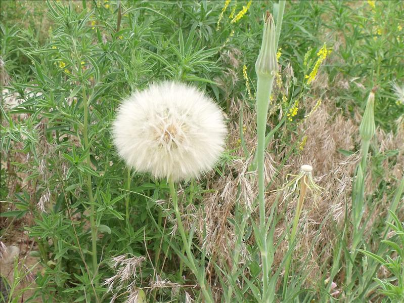 Very large dandelion puff