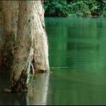 20090818 Paper-bark trees of Shing Mun Reservoir 城門水塘水浸百千層