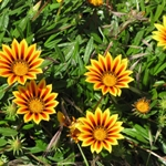 .. Botanic Gardens where the Gazanias ...