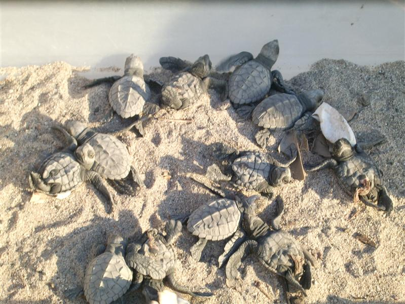 105 Baby Sea Turtles