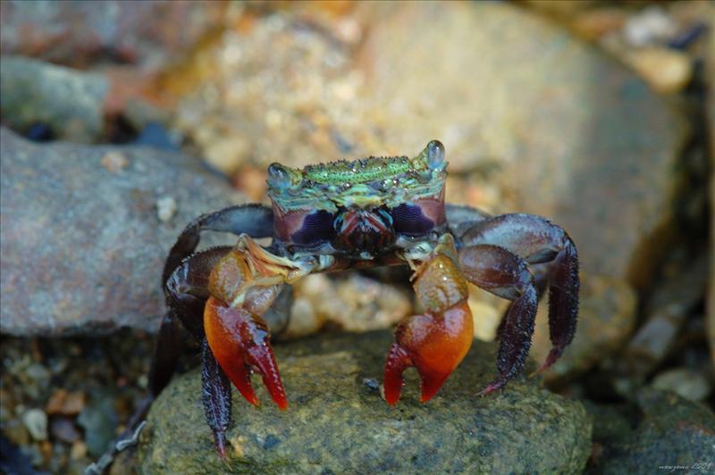 Sesarmops sinensis 中華相手蟹
