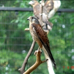 falcon 隼(上海动物园)
