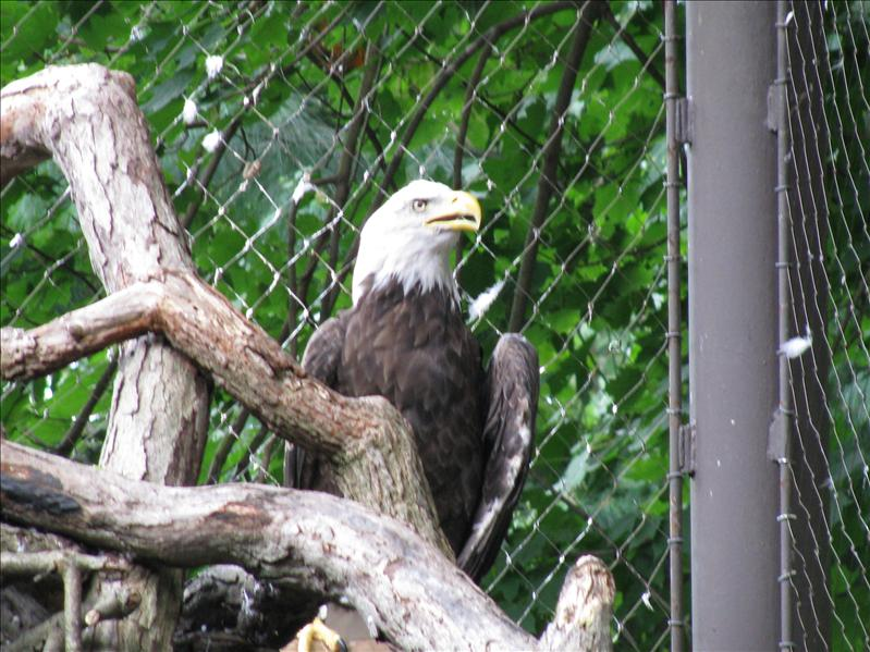 Bald Eagle, wat een vogel! echt mooi