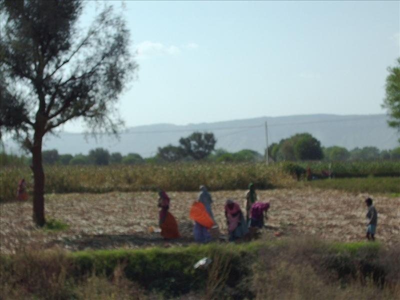 Women in saris harvesting the crop