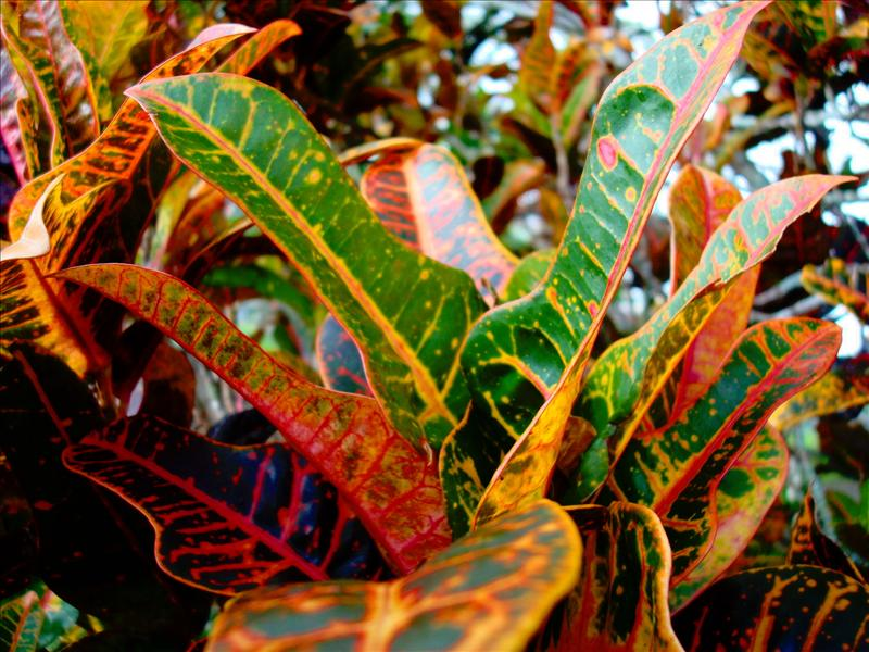 Hilo - Colorful leaves