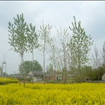 cole flowers-behind the flowers and trees are home,yancheng