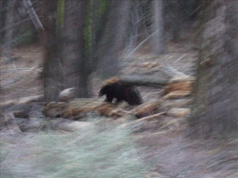 Black Bear, Sequoia National Park