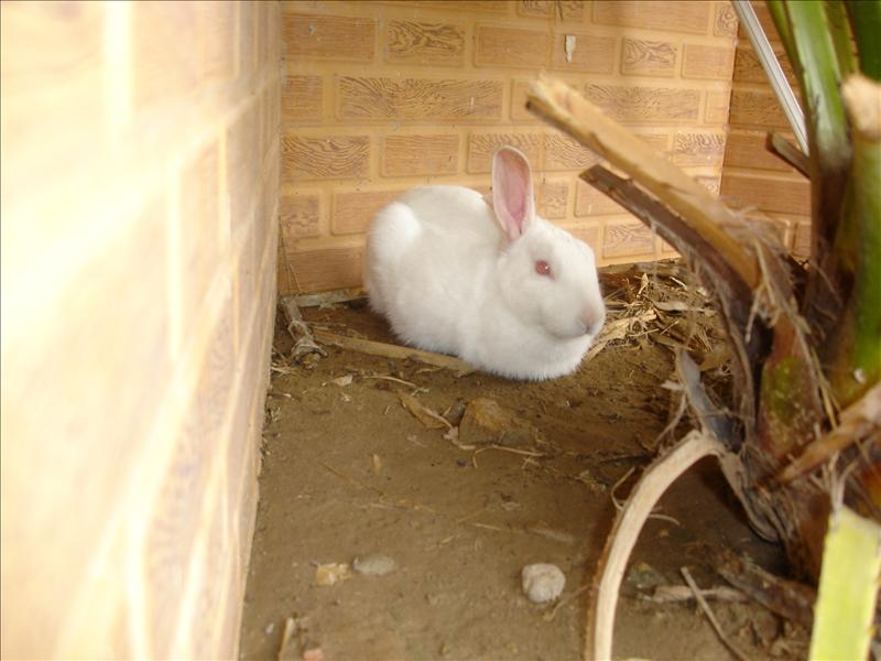 Rabbit at aur home, Islamabad, Pakistan