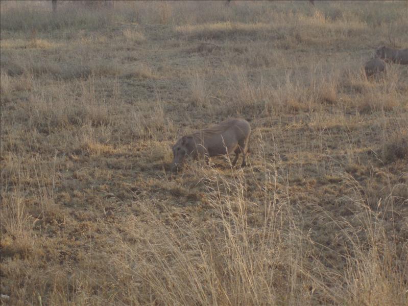 Warthog, Serengeti