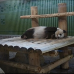 Oji Panda