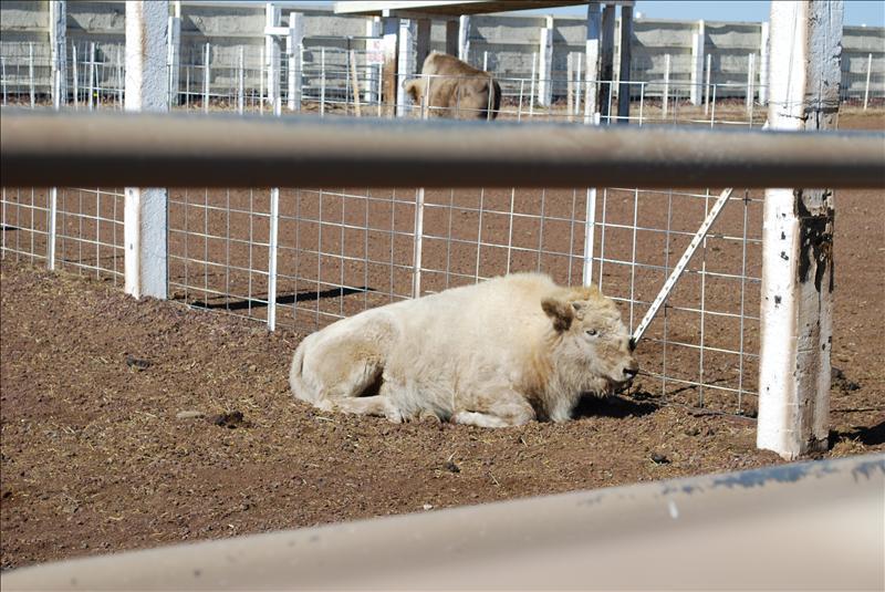 Baby White Buffalo