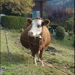 vache•Les Avants•2008