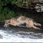 ulvehopp.jpg